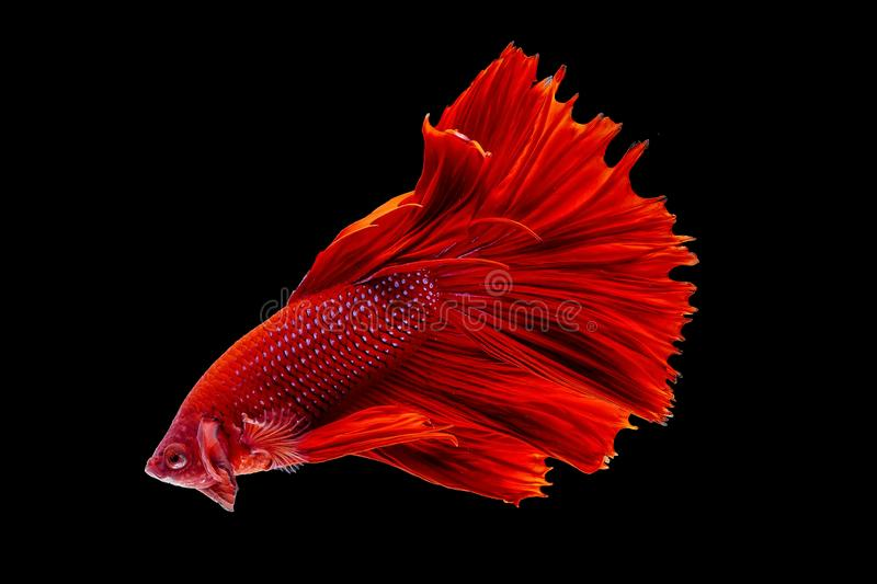 Thai Fighting Fish is a beautiful fish and Thai national fish. royalty free stock photography