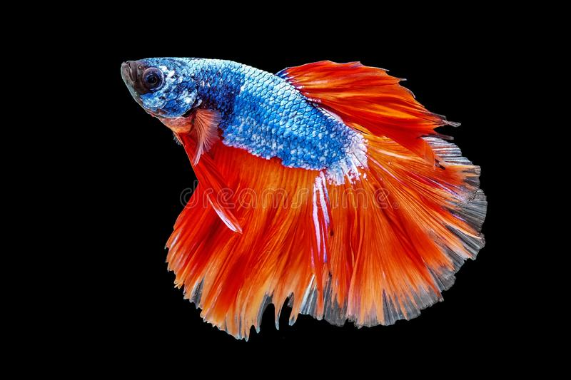 Thai Fighting Fish is a beautiful fish and Thai national fish. royalty free stock image