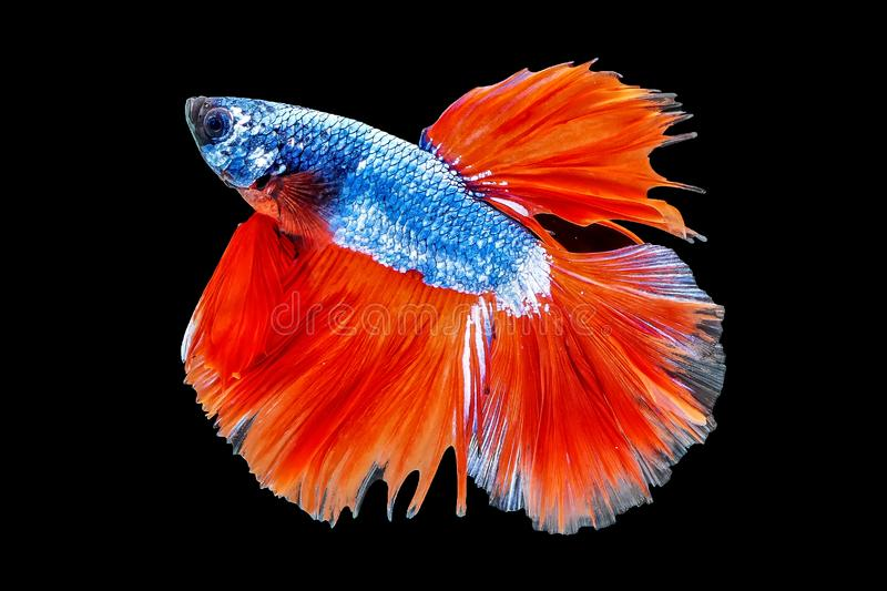 Thai Fighting Fish is a beautiful fish and Thai national fish. stock images