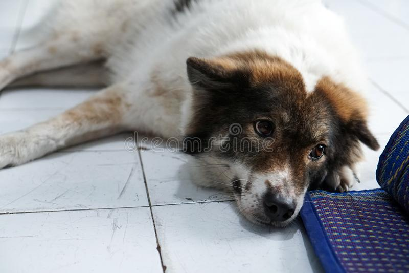 Thai friendly bangkaew dog breed wait for food. Thai friendly bangkaew dog breed waiting for food royalty free stock photo