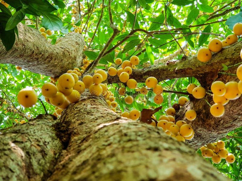 Thai fruit rambeh on the rambi tree royalty free stock photo