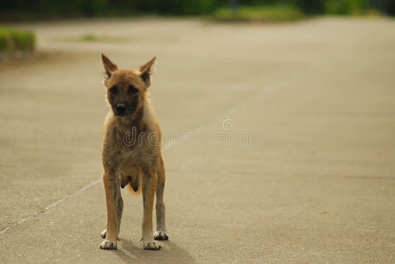 Thai hansen de tribune van de ziektehond alleen op de weg royalty-vrije stock fotografie