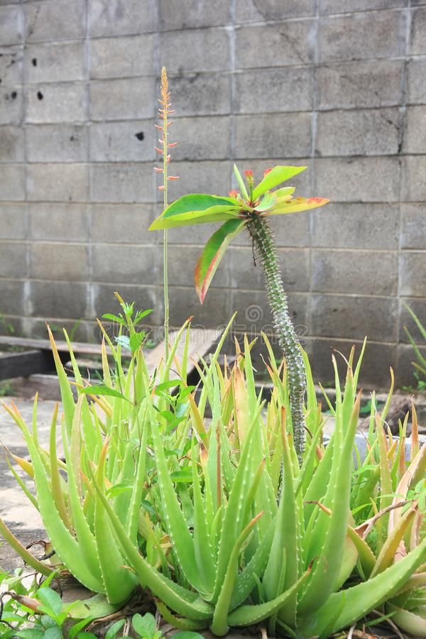 Thai Herb : Aloe Vera Tree which is one of Tree that can help for Healing wounds. And we can use for our body like hair or face or any part of body to have royalty free stock photos