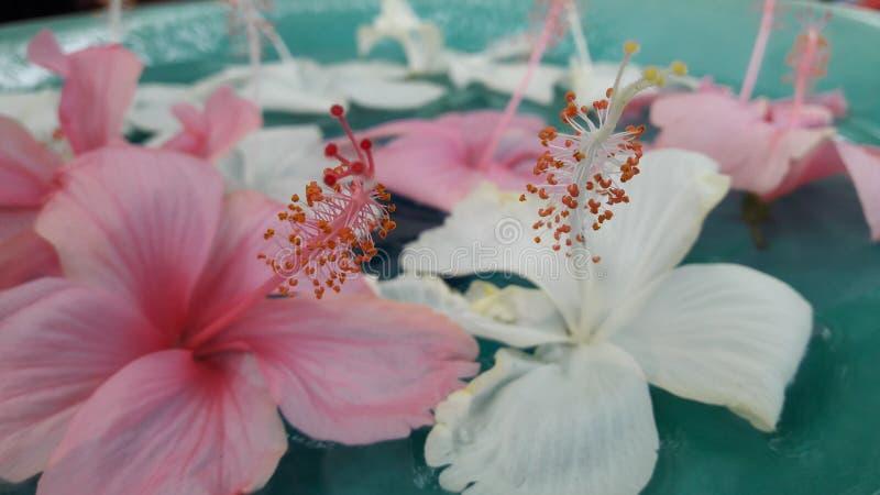 Thai Hibiscus stock photography