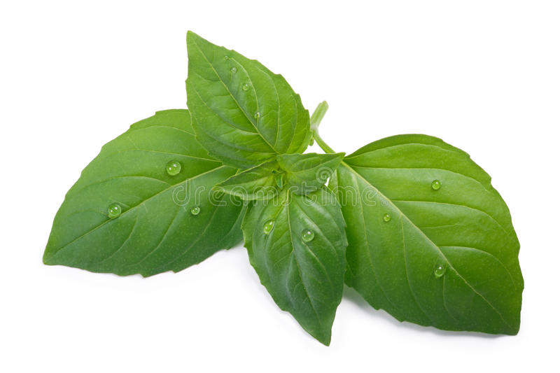 Thai holy basil Ocimum sanctum, top view, paths. Thai or holy fragrant spear-like basil Ocimum sanctum leaves. Top view, clipping paths, shadow separated royalty free stock images