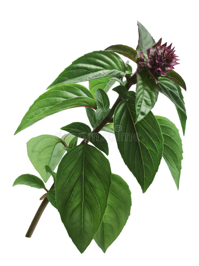 Thai Holy Basil stem, paths. Thai or Holy Basil Ocimum sanctum, stem with flower . Clipping path royalty free stock images