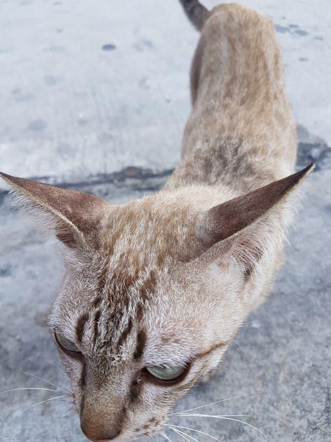thai katt royaltyfri fotografi