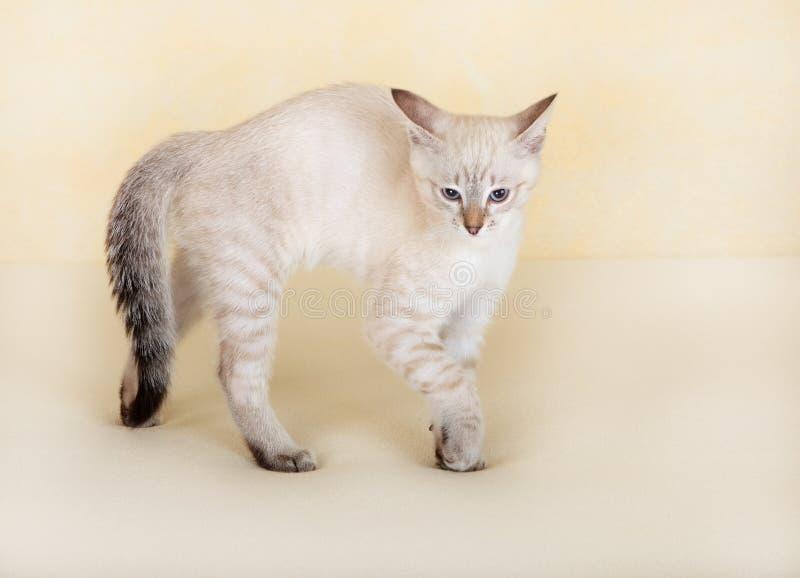 Download Thai kitten attacks. stock photo. Image of mammal, thai - 16376404