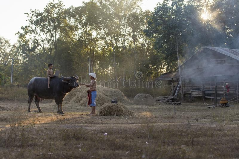 Thai local boy riding on buffalo and playing computer notebook with father in farm stock photos
