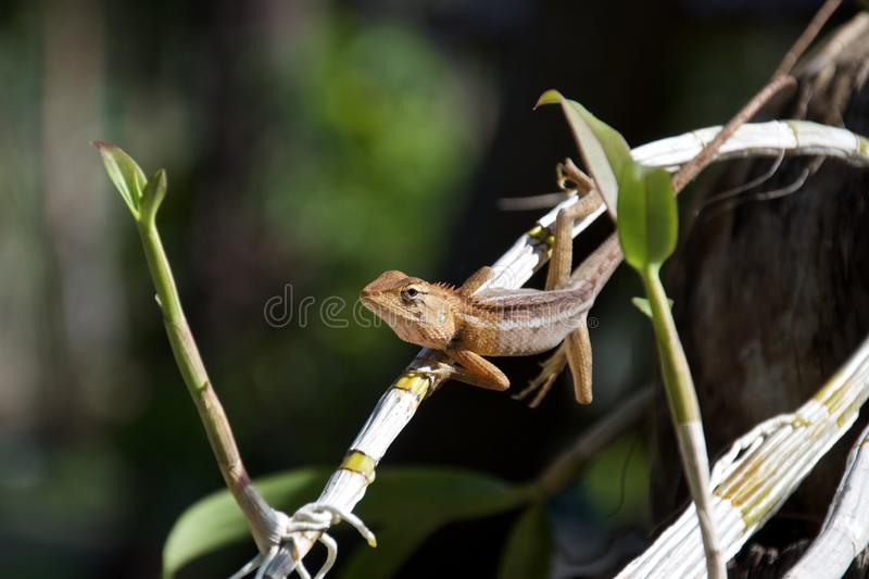 Thai long-tailed lizard sitting on a stalk of orchids royalty free stock images