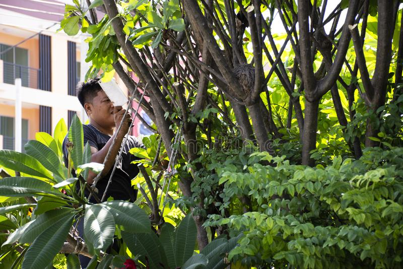 Thai men people gardening and cutting pruning branch Plumeria tree in garden at front of home at Nonthaburi, Thailand. Thai man people gardening and cutting royalty free stock images