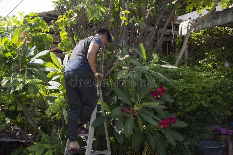 Thai men people gardening and cutting pruning branch Plumeria tree in garden at front of home at Nonthaburi, Thailand. Thai man people gardening and cutting royalty free stock photos