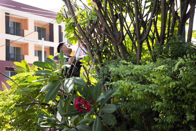 Thai men people gardening and cutting pruning branch Plumeria tree in garden at front of home at Nonthaburi, Thailand. Thai man people gardening and cutting royalty free stock photography
