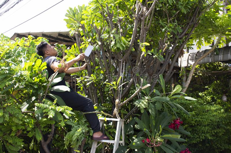 Thai men people gardening and cutting pruning branch Plumeria tree in garden at front of home at Nonthaburi, Thailand. Thai man people gardening and cutting stock photography
