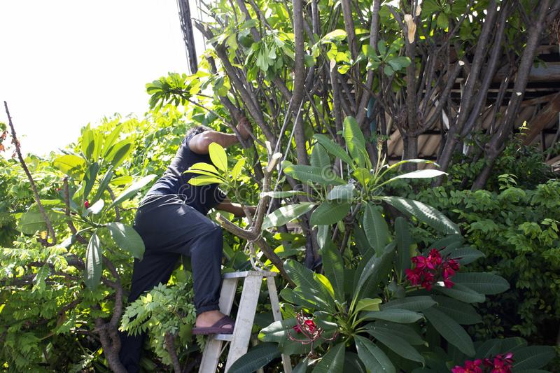 Thai men people gardening and cutting pruning branch Plumeria tree in garden at front of home at Nonthaburi, Thailand. Thai man people gardening and cutting royalty free stock image