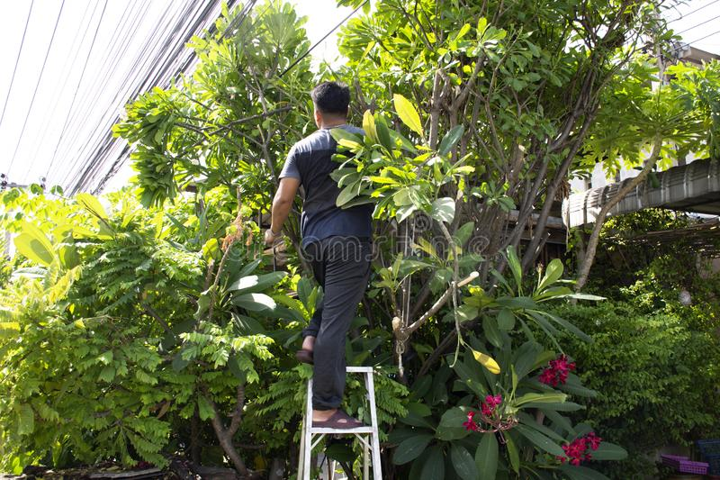 Thai men people gardening and cutting pruning branch Plumeria tree in garden at front of home at Nonthaburi, Thailand. Thai man people gardening and cutting stock photos