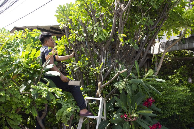 Thai men people gardening and cutting pruning branch Plumeria tree in garden at front of home at Nonthaburi, Thailand. Thai man people gardening and cutting royalty free stock photo
