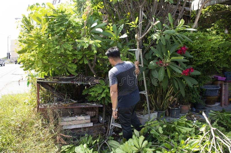 Thai men people gardening and cutting pruning branch Plumeria tree in garden at front of home at Nonthaburi, Thailand. Thai man people gardening and cutting stock photo
