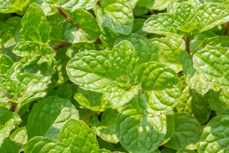 Thai mint leaf stock image. Image of garden, macro, abstract - 28902199