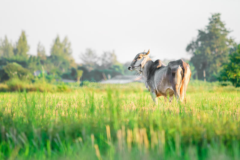 Thai Native Breed Cow on grass royalty free stock image