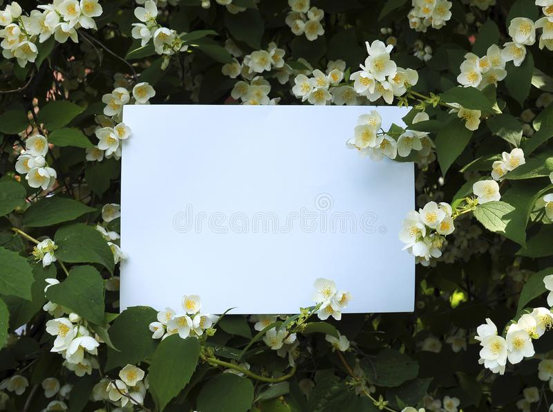 Thai Orange Jasmine royalty free stock photography