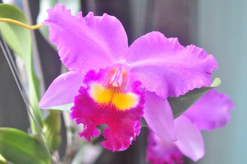 thai orchid royaltyfria bilder