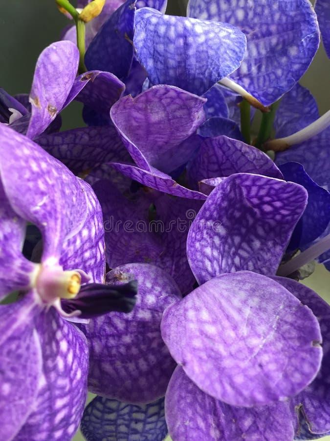 Thai Orchid Flower stock photos