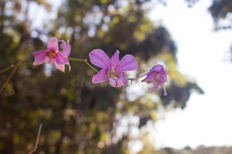 Thai orchid Fresh flowers in pretty colors, it is refreshing Shooting near a natural background royalty free stock image