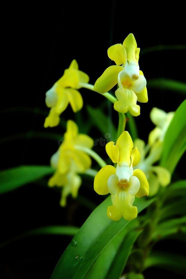 thai orchids arkivbilder