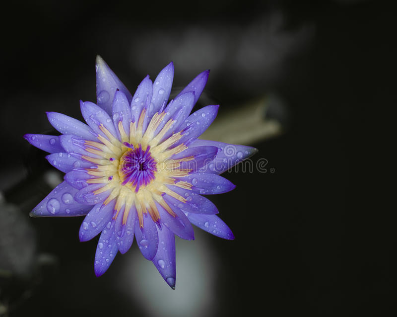Thai purple  lotus in pond.