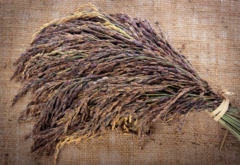 Thai Red Jasmine rice royalty free stock photography