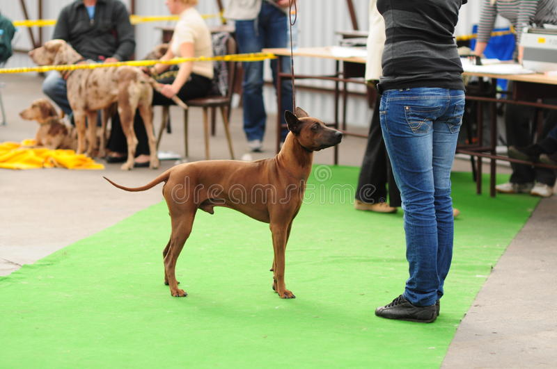 Download Thai ridgeback stock image. Image of leash, female, show - 17915725