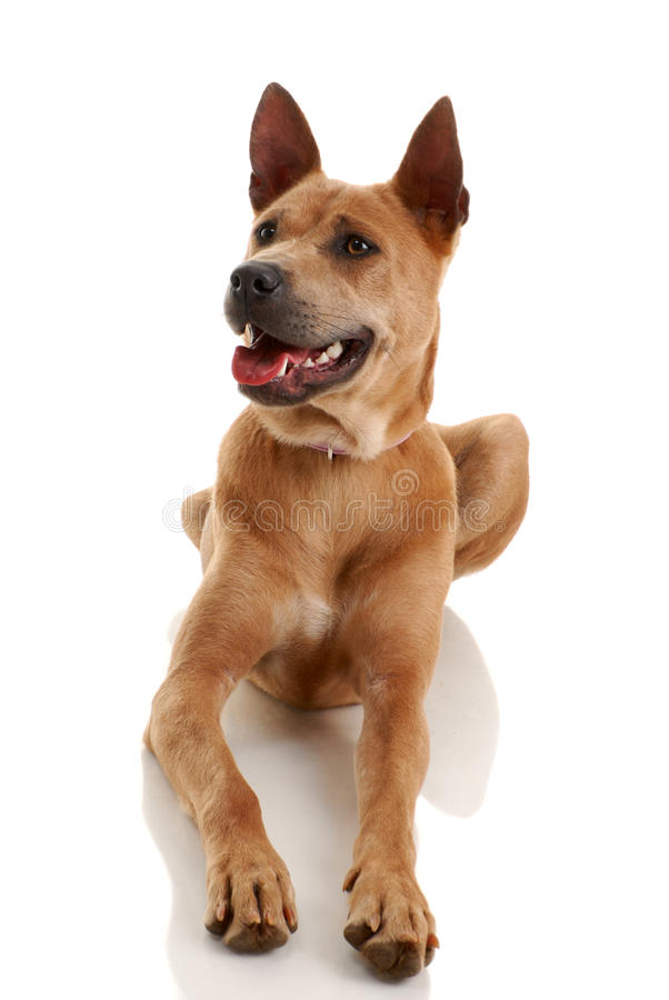 Download Thai Ridgeback Dog stock photo. Image of carnivore, friend - 9756242