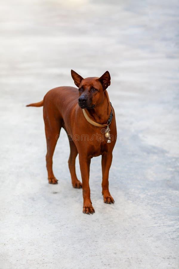 Thai Ridgeback Dog in Happy Emotion. Thai ridgeblack dog outdoors.breed dog standing looking, Thai Ridgeback stock images