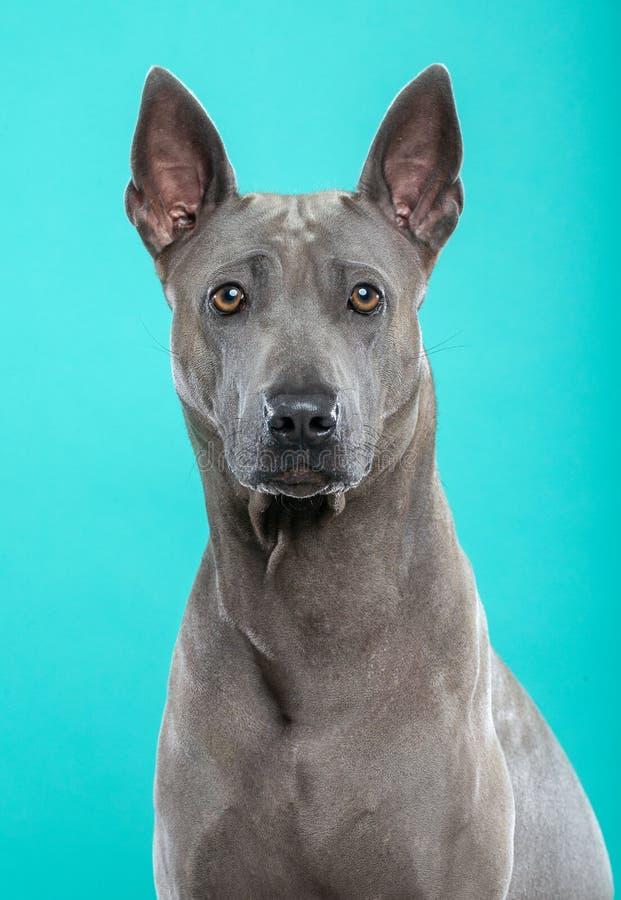 Thai Ridgeback Dog Isolated on Blue Background stock photography
