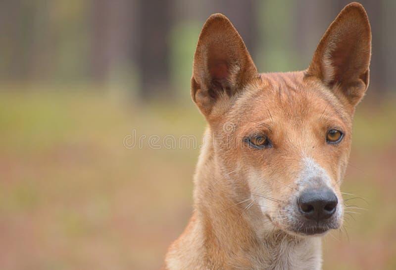 Thai Ridgeback Dog stock photography