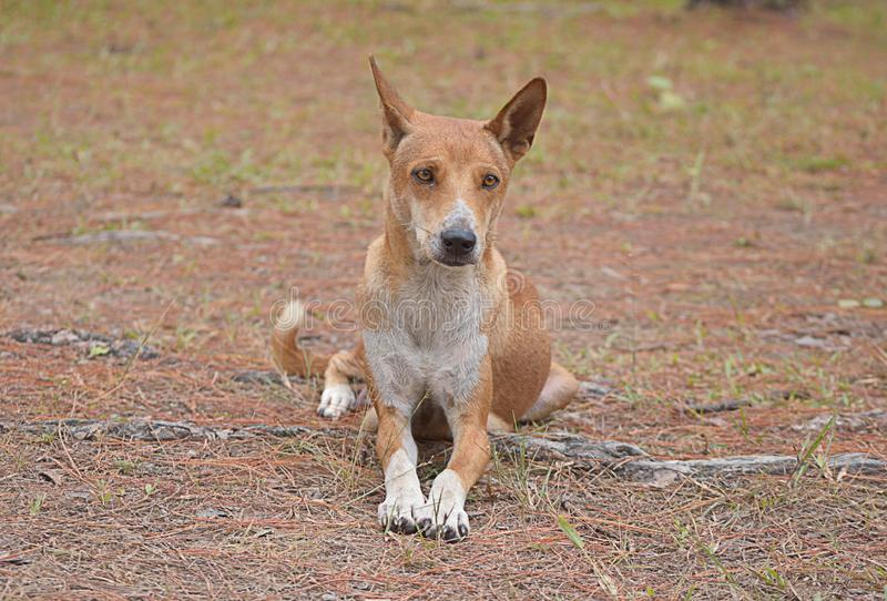 Thai Ridgeback Dog stock image