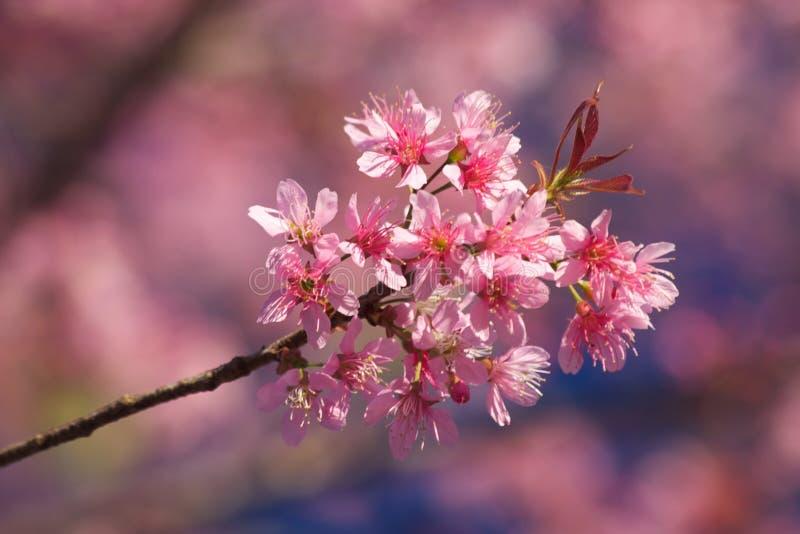 Thai Sakura stock photo