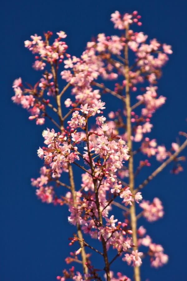 Thai Sakura stock image