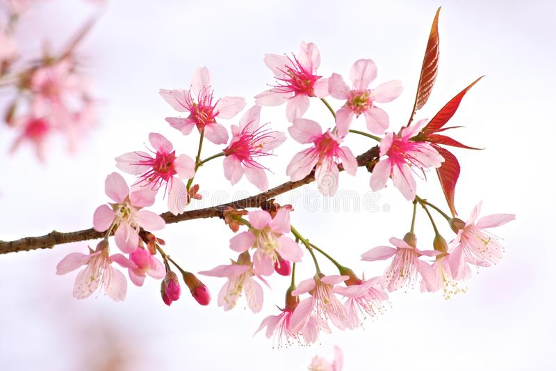 Thai Sakura stock images
