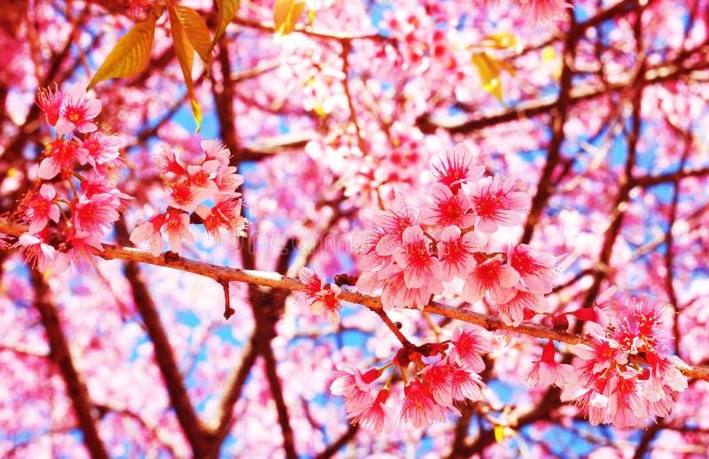 Thai sakura. Branches of thai sakura tree of thai sakura tree royalty free stock photos