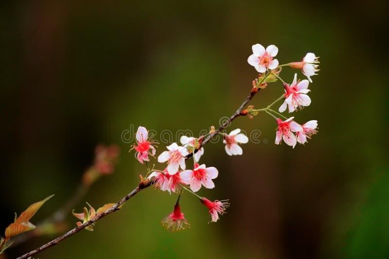 Thai Sakura Flower blooming in winter time in Northern Thailand. royalty free stock photo