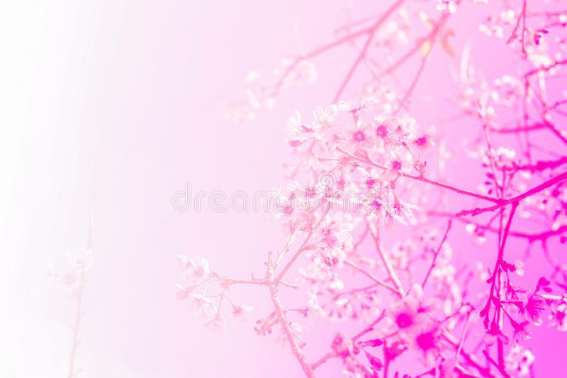 Thai sakura flower with soft pink stock images