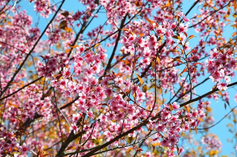 Thai Sakura. The thai sakura in forest in thailand location stock photos