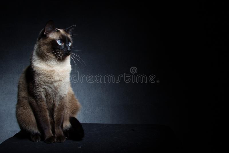 Thai Siamese cat royalty free stock images