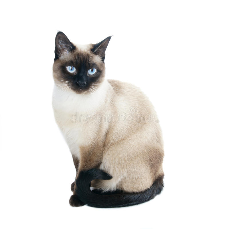 Thai or siamese cat. A thai cat is a traditional or old-style siamese cat