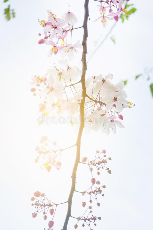 Thai tropical blossom tree. Colorful of Thai tropical blossom tree stock photography