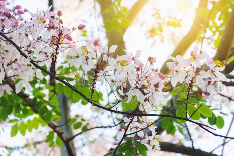Thai tropical blossom tree. Colorful of Thai tropical blossom tree royalty free stock image