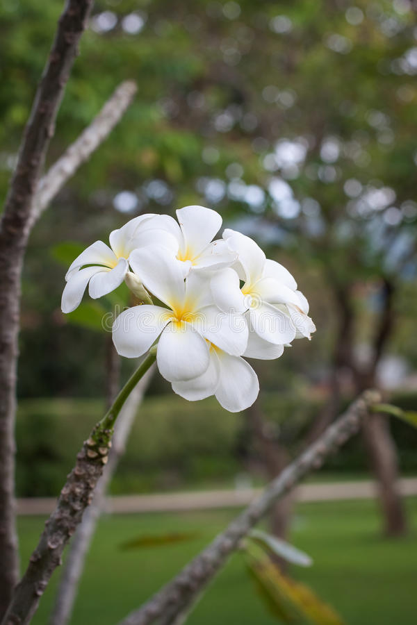 Thai white flower blooming on a tree royalty free stock images