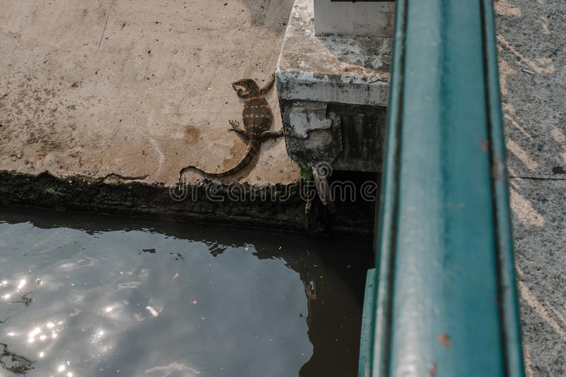 Thai wildlife. Lizard basks in the sun near the city river. Thai wildlife. Varan basks in the sun near the city river stock photos